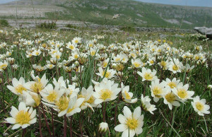 Things to do in County Galway, Ireland - The Burren in Bloom Festival - YourDaysOut