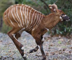 New arrival: The eastern bongo was born on 5th January. © Dublin Zoo - YourDaysOut